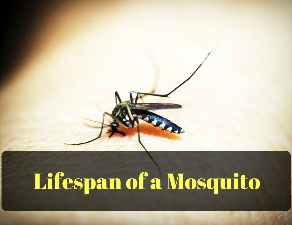What is the Lifespan of a Mosquito?